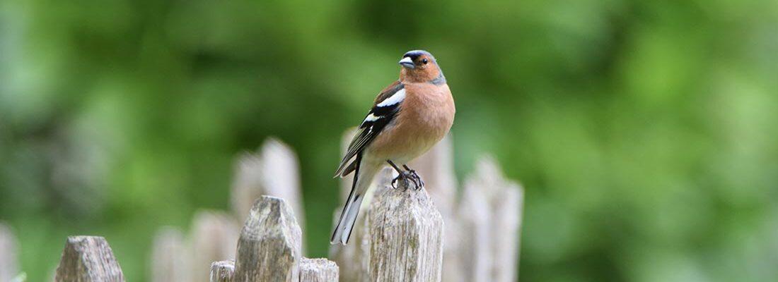 camping-lolotte-natuur-vogel-vink